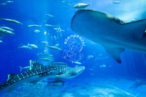 美ら海水族館に子連れで行ってきた 楽しむためのポイントまとめ